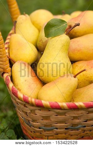 Fresh Ripe Yellow Pears In Wicker Basket In Sunny Garden Close-up. Pears In Basket. Yellow Pear. Selective Focus.