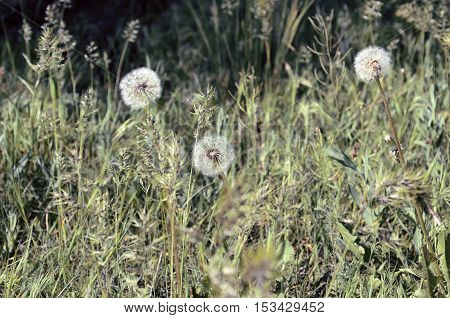 Dandelions in a grass. Average plan. Horizontal format. Outdoors. Color. Photo.