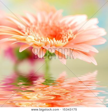 Pink daisy-gerbera with soft focus reflected in the water
