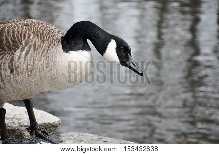 Canadian Goose Stands In Front Of Creek