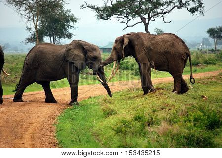 Two elephants who play on a dirt track in a park of Tanzania