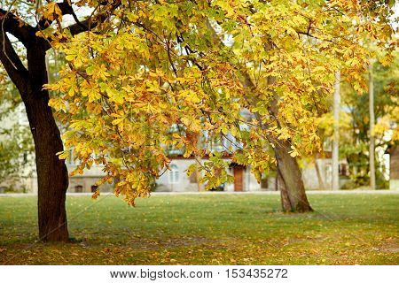 season, nature and environment concept - autumn chestnut tree in city park