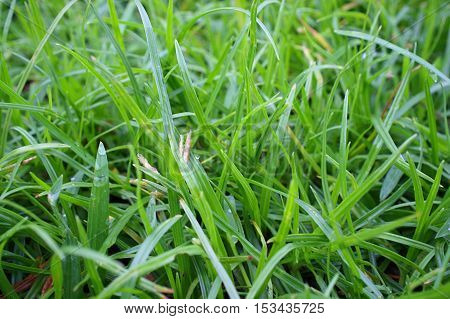 Close up of fresh green grass  background