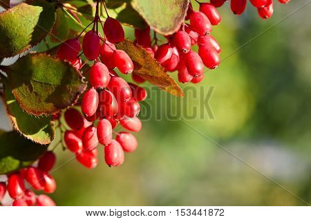 Red barberry berries in nature on the tree