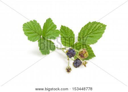 Small twig of a wild blackberry with leaves and several clusters of berries of different ripeness on a light background