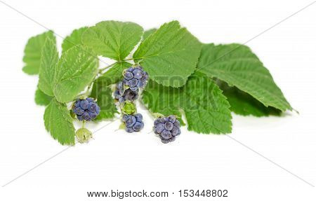 Twig of a wild blackberry with leaves and several clusters of berries of different ripeness on a light background closeup