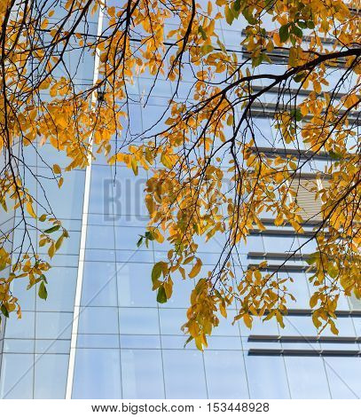 Hanging down branches of tree with autumn leaves on background of modern glass office building