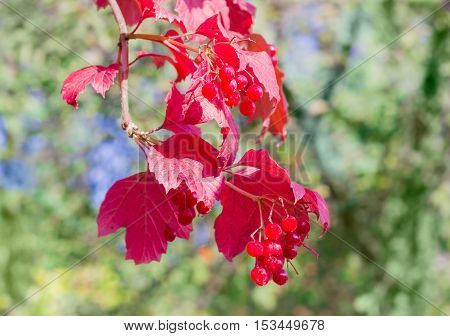 Branch of viburnum with clusters of ripe berries and red leaves on the blurred background of the trees