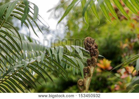 Closeup of a new fern leaf curl