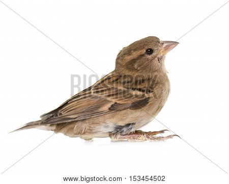House sparrow in front of white background