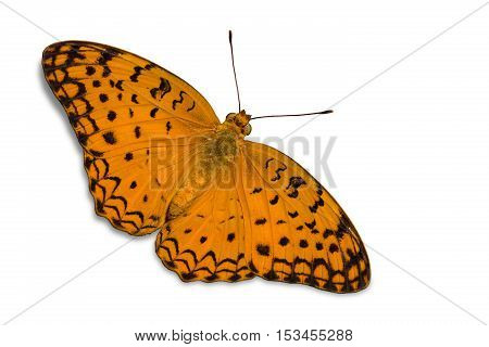 Common Leopard Butterfly