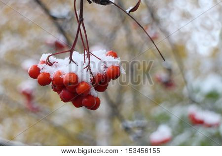 fluffy white snow on bunches of mountain ash