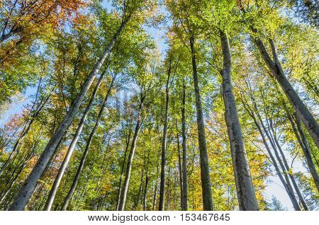 Looking Up In The Autumn Forest. Below view.