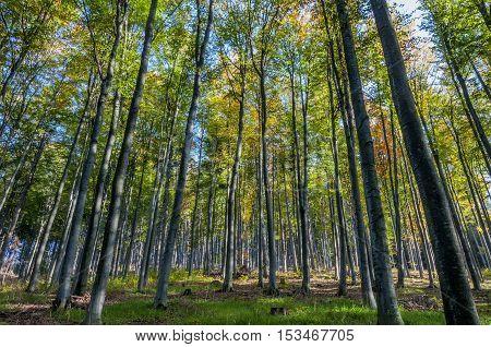 Beech trees on the mountain slope in autumn season.