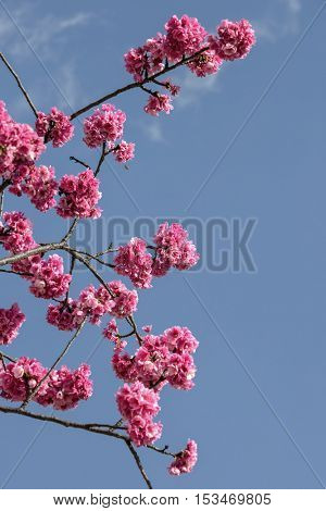 Beautiful cherry blossom in Yunnan, China