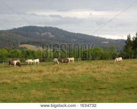 Cows Grazing In The Mountains