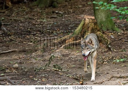 A wolf running along in the forest