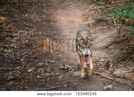 A wolf running along a path in the forest