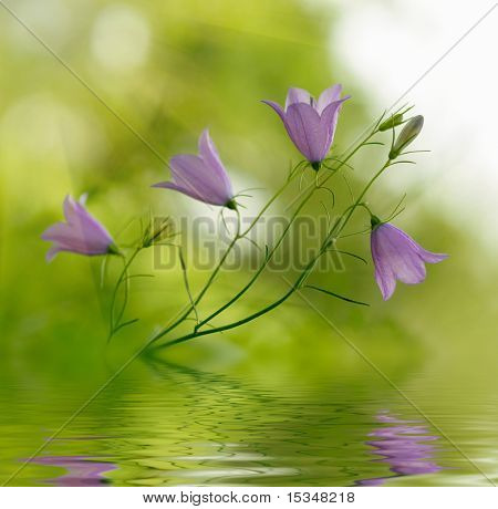 Campanula bell-fowers reflected in the water