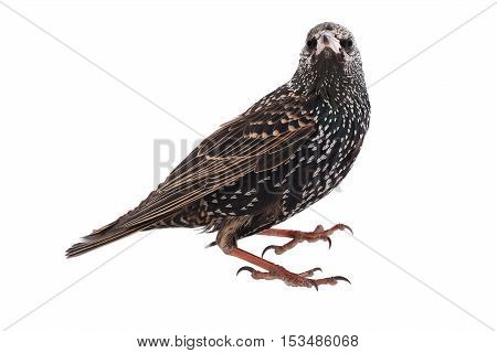 European starling on a white background, studio shot
