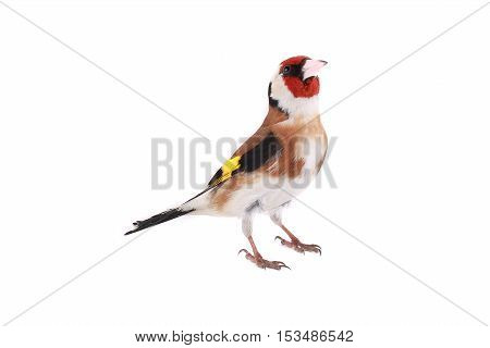 goldfinch on a white background, studio shot