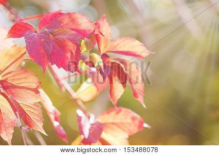 Autumnal branch with red leaves of wild grapes against sunbeam in blurred green background. small DoF focus