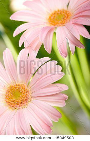 Closeup of two pink daisy-gerbera