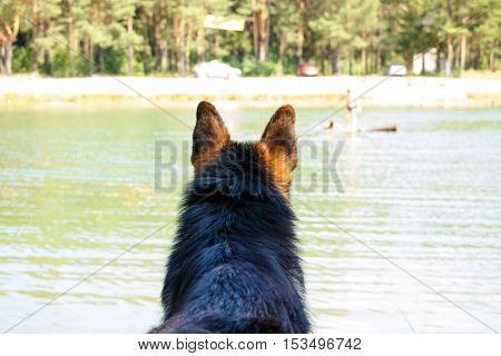 Dog German Shepherd On The Coast Of The Lake