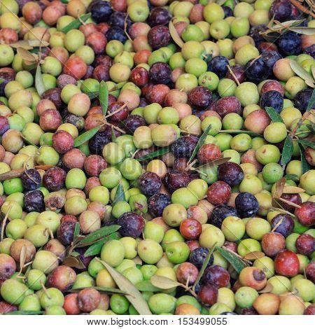 fresh green, semi-ripe and black ripe olives harvest