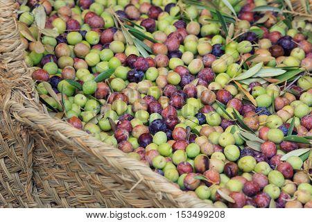 fresh green, semi-ripe and black ripe olives harvest in whcker basket