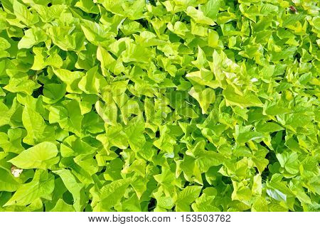Beautiful wall covered with green ivy plant