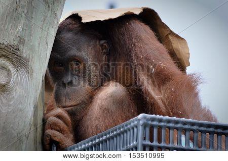An orangutan on a platform in the rain