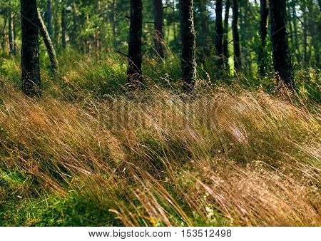 Pine forest on the Curonian Spit. Kaliningrad region Russia