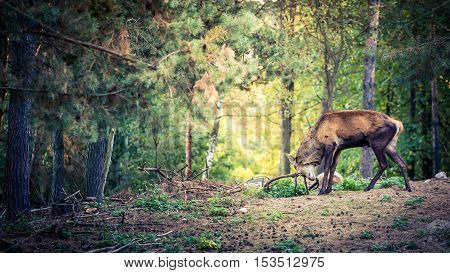 Deer with large horns in the forest Poland