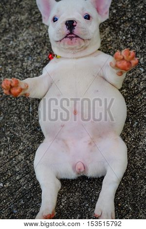 Dog obesityYoung french bulldog white lie supine with eye popper on the cement floor.