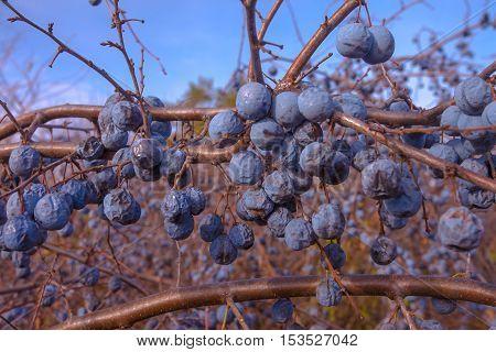 closeup rotten wild plum hanging on a tree branch
