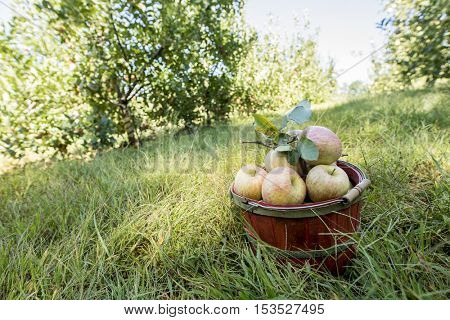 Basket of organic apples fresh picked in orchard
