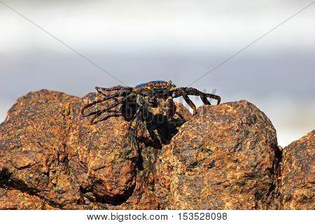 Sally Lightfoot Crab, Grapsus grapsus on rocks, Mexico
