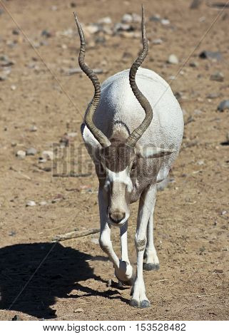 An Addax nasomaculatus, the White, or Screwhorn, Antelope is Critically Endangered