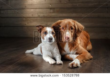 Dogs Jack Russell Terrier And Nova Scotia Duck Tolling Retriever Portrait On A Studio