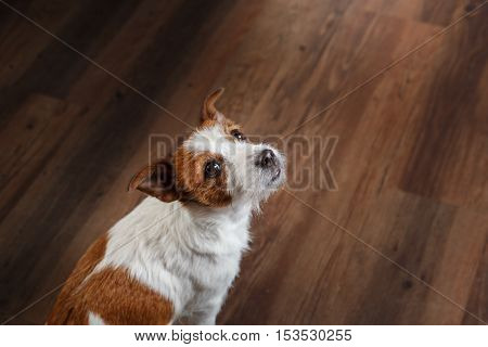 Dogs Jack Russell Terrier Portrait On A Studio Color Background