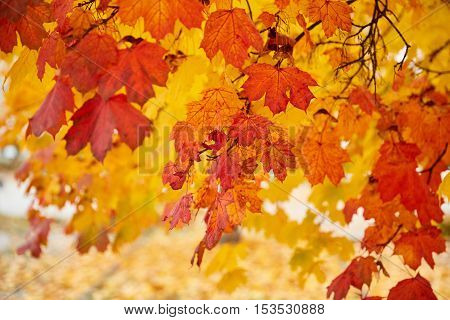 Colorful Acer Maple Leaves As A Background