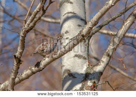 Beautiful Hazel Grouse Sitting On A Tree