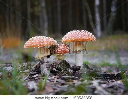three growing red toadstool on forest background