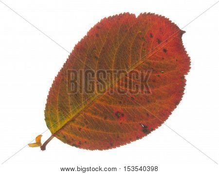 beautiful bright colorful spotted red autumn brown delicate leaves isolated on white background
