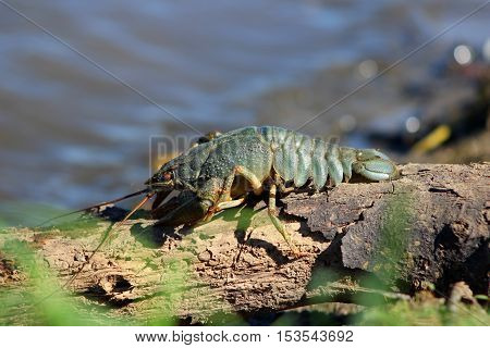 crayfish on a tree trunk basking in the sun