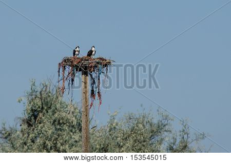 Two Young Osprey Resting on its Nest