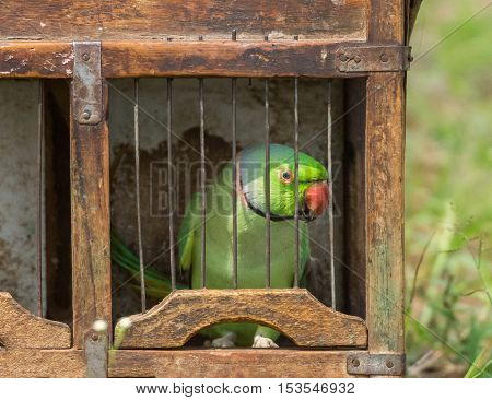 Dindigul India - October 23 2013: A green parrot sits in a brown case. Ambulant fortune telling merchants use the parrot to flip cards supposedly giving clues about the future of the client.