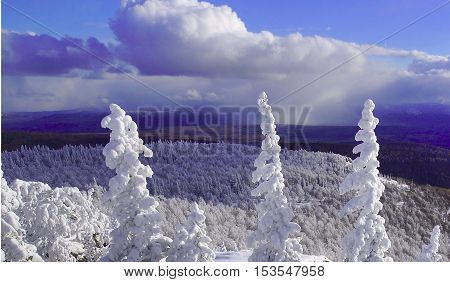 Three tops of spruce on a mountain top in snow.