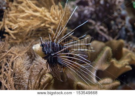 Clearfin lionfish (Pterois radiata), also known as the radiata lionfish or radial firefish. Wildlife animal.